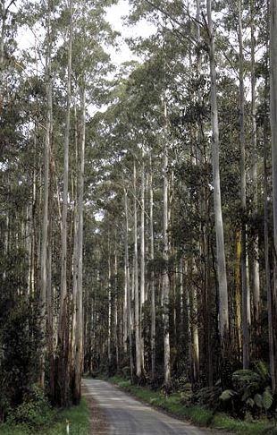 Eucalyptus Regnans Mountain Ash Or Giant Ash At